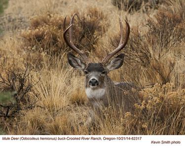Mule Deer M62317.jpg