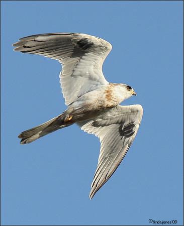 Kites, Roadrunner, Quail, Osprey, Sora 500f4 OCwildlife