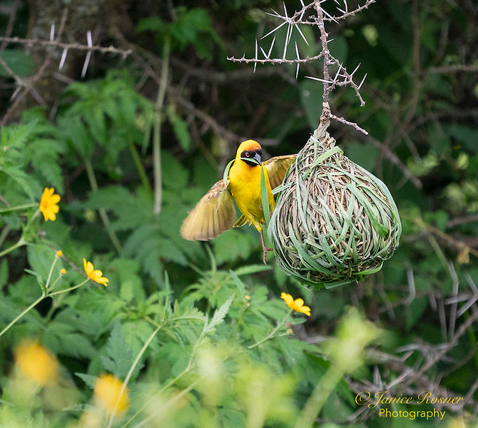 Weaver Bird Building Nest