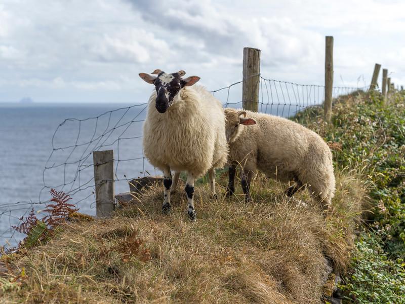 Sheep grazing along coastline, Ballyferriter, County Kerry, Ireland