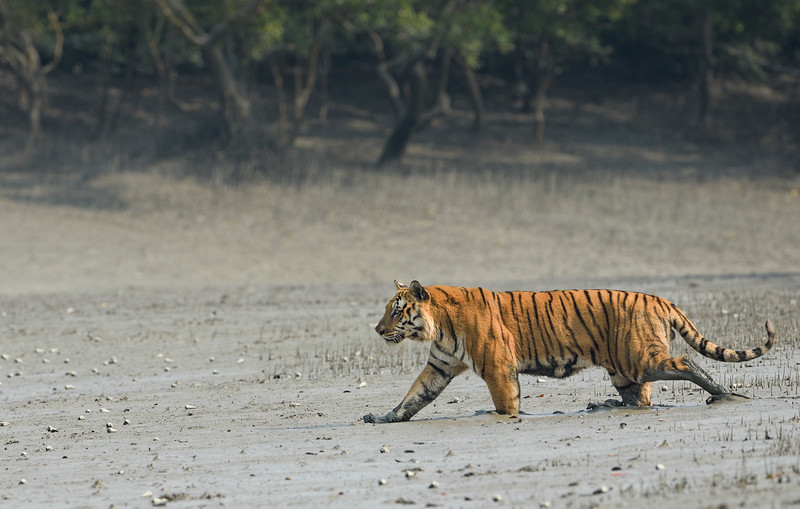 Tiger-Sundarbans-feet-sinking-in-king-of-the-swamps.jpg