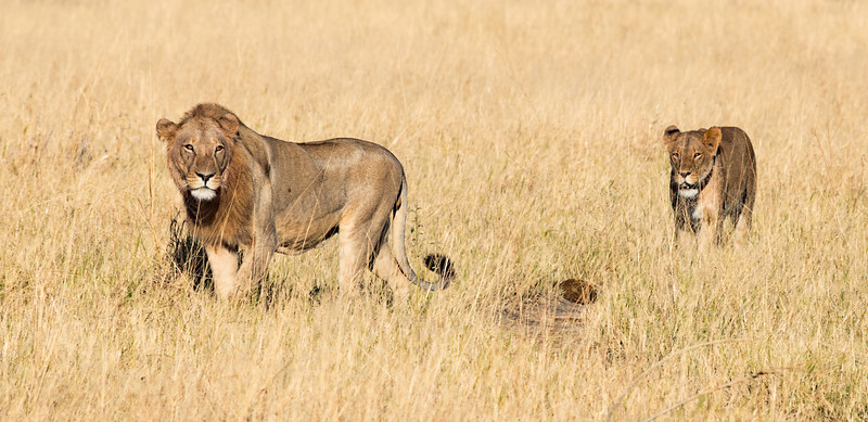 Z_2_2006_A_Lion and Lioness on the prowl.jpg