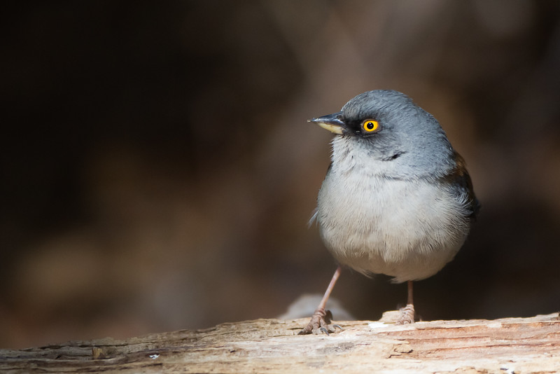 Yellow-eyed Junco - Carr Canyon, Nr. Sierra Vista, AZ, USA