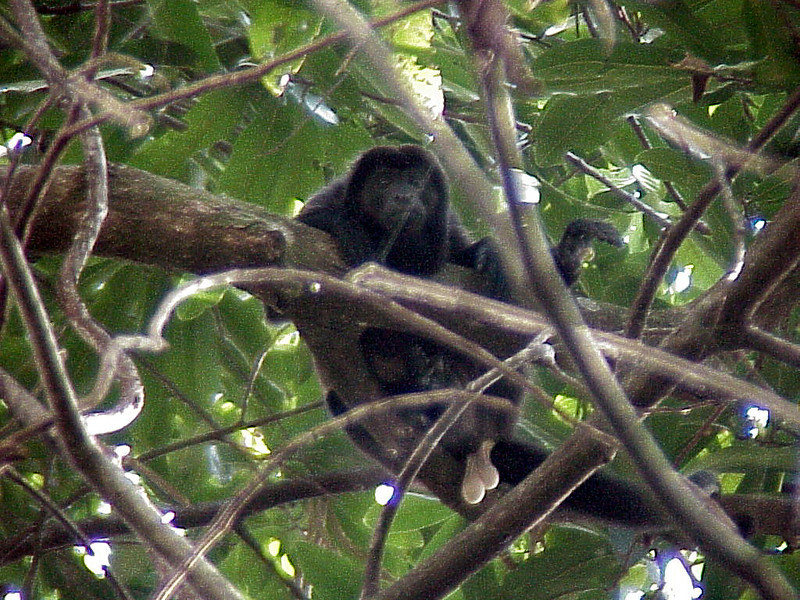 Mantled Howler Monkey at Rancho la Merced Costa Rica 2-16-03 (50898183)