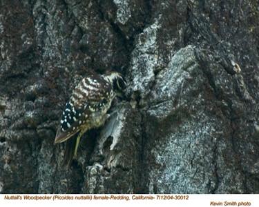 Nuttall'sWoodpecker30012.jpg