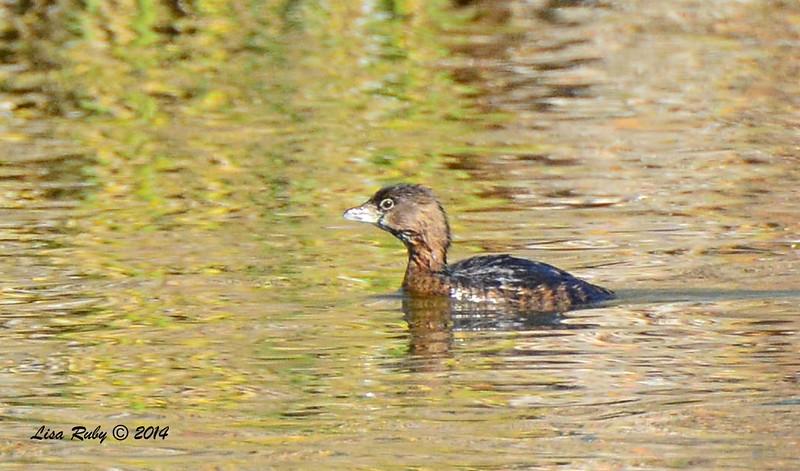Pied-billed Grebe  - 12/14/2014 - Poway Pond