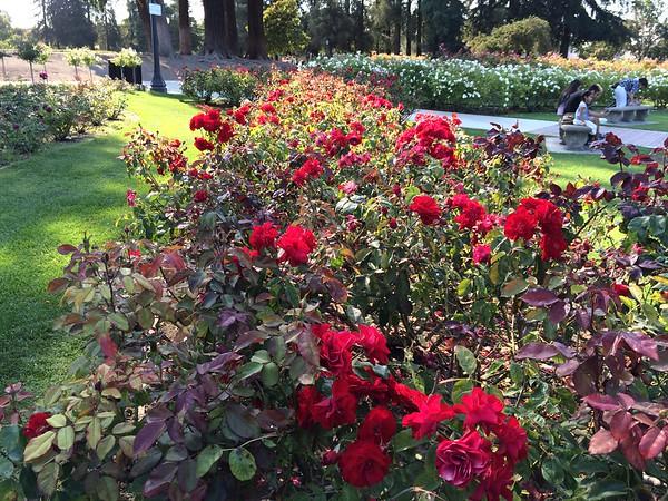 San Jose Municipal Rose Gardens