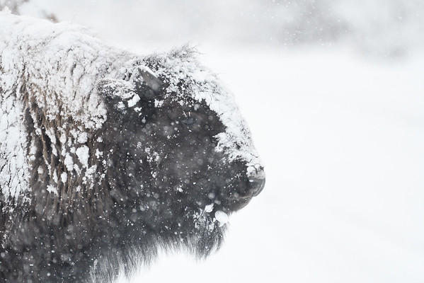 A snow day: Yellowstone