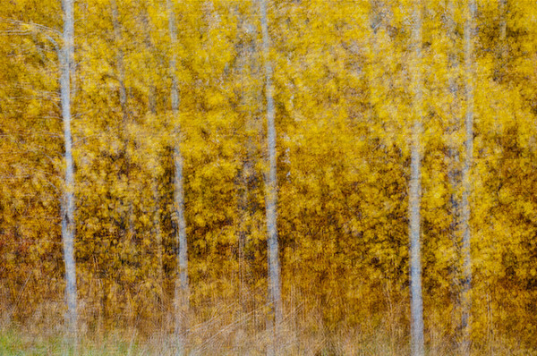 Aspen in the Autumn, Okanagan Valley, British Columbia