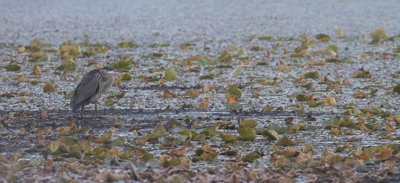 Great Blue Heron Lake Nichols Sax-Zim Bog MN IMG_0066504.jpg