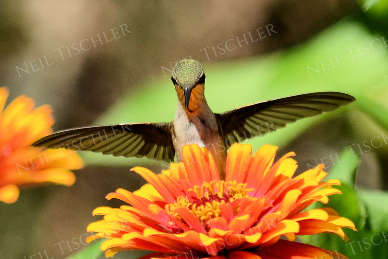 #1085  A male juvenile ruby throated hummingbird feeds at an orange zinnia blossom.