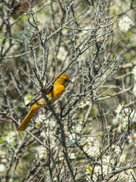 Oriole female Beech Forest.jpg