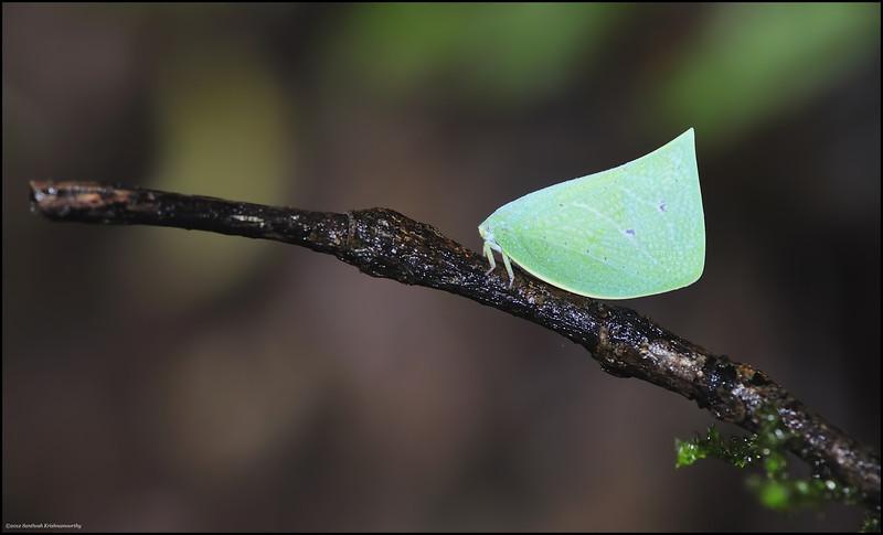 Green flatid.....