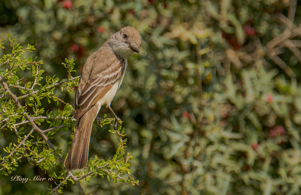 Gray-throated Flycatcher TR_DWL9624.jpg