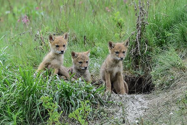 6-8-14 Coyote Pups