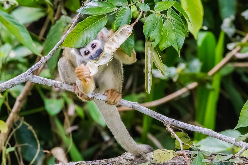 Napo Wildlife Center - Squirrel Monkey - Lina Stock