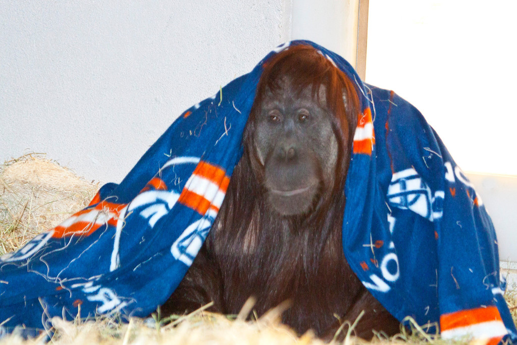 . This orangutan at the Denver Zoo shows off his Broncos snuggie. (Provided by the Denver Zoo)