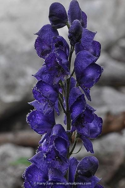 Aconitum napellus ssp. tauricum