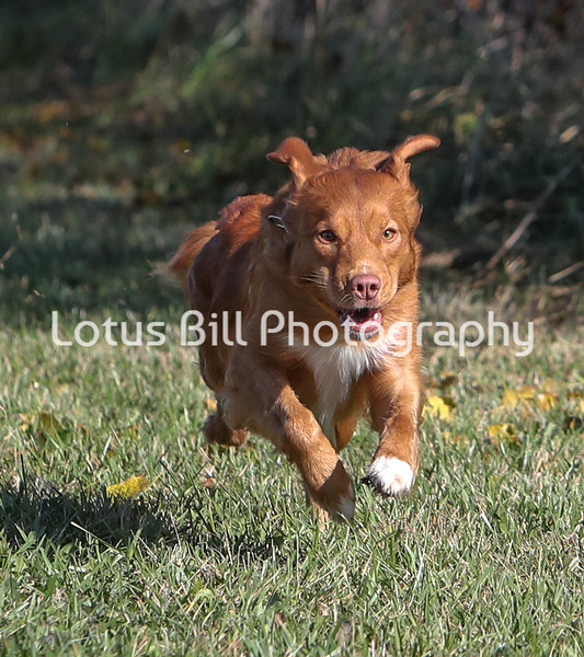 Nova Scotia Duck Tolling Retriever SR31
