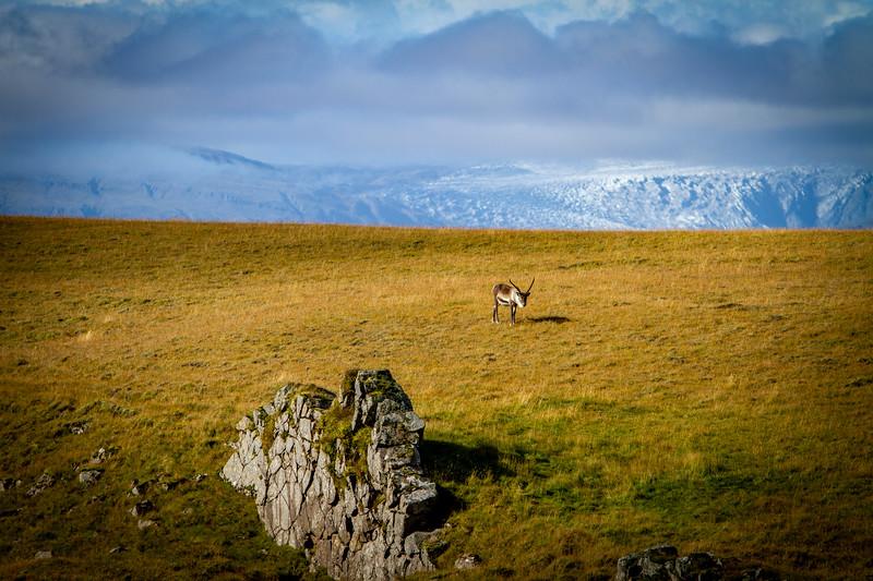 Imported Reindeer-9.jpg
