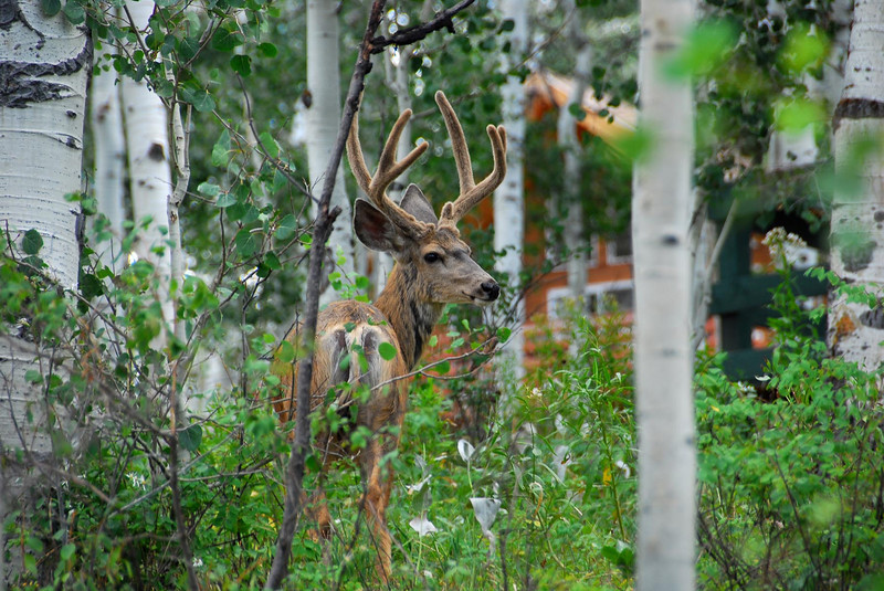 8/12/07 – There were plenty of bucks roaming the woods this year. This is one of the many I captured images of. You can see he still has the velvet on his antlers and is roaming among the cabins enjoying the green vegetation.