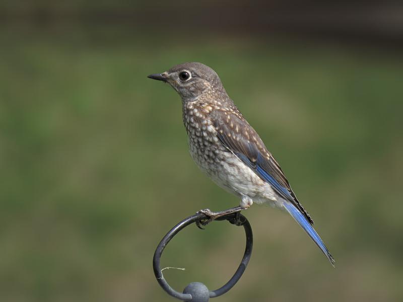 sx50_bluebird_fledgling_504.jpg