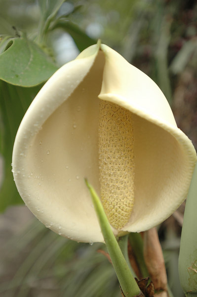 I think this was called an Elephant flower