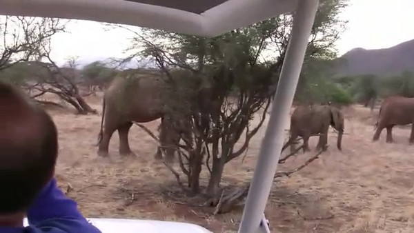 Click to play video: Large group of elephants including a bull elephant around us.