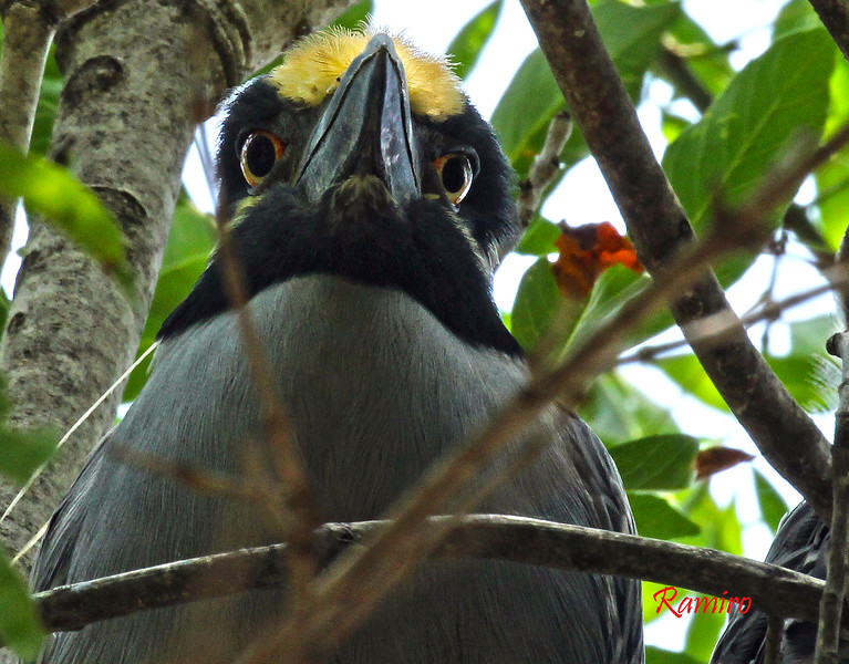 Yellow Crowned Night Heron IMG_5114.jpg