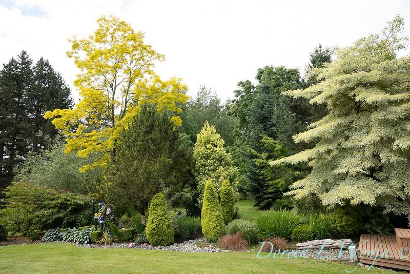 Robinia pseudoacacia 'Frisia' - Cornus controversa - conifer landscape_1182.jpg