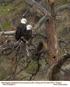 Bald Eagles P 64601-3c.jpg