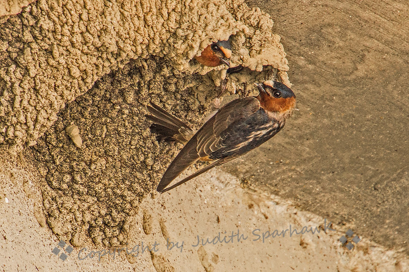 Swallows at the Nest