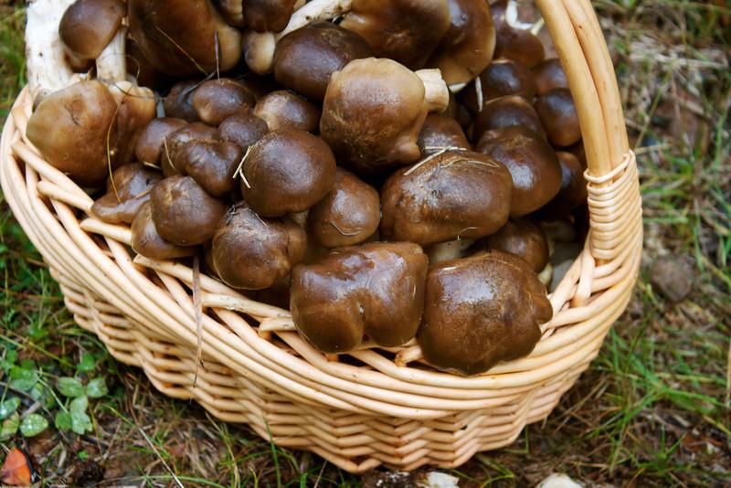 Lyophyllum decastes, Fried Chicken Mushroom