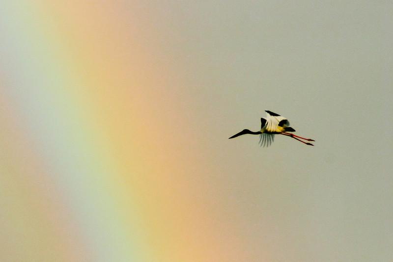 Black-necked Stork (Ephippiorhynchus asiaticus)