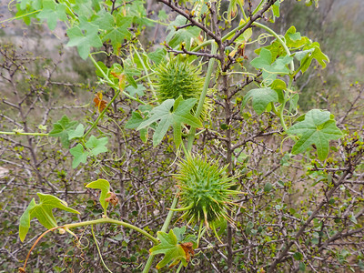 Wild Cucumber (Marah macrocarpa)