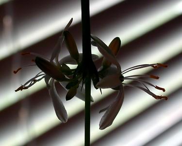 Spider Plant (Chlorophytum comosum `Vittatum')