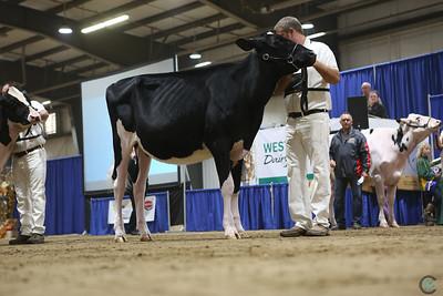 Westerner Holstein Heifers 2018