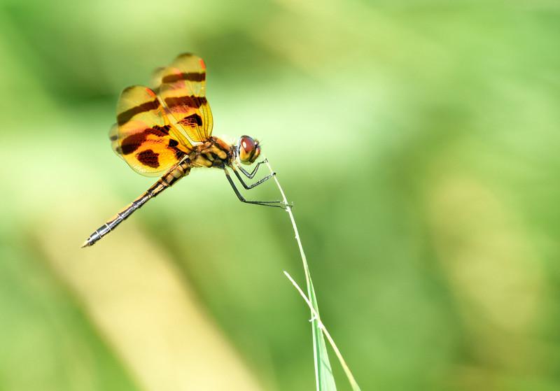 Golden-dragonfly-hangingon-grass-OBX-corolla.jpg