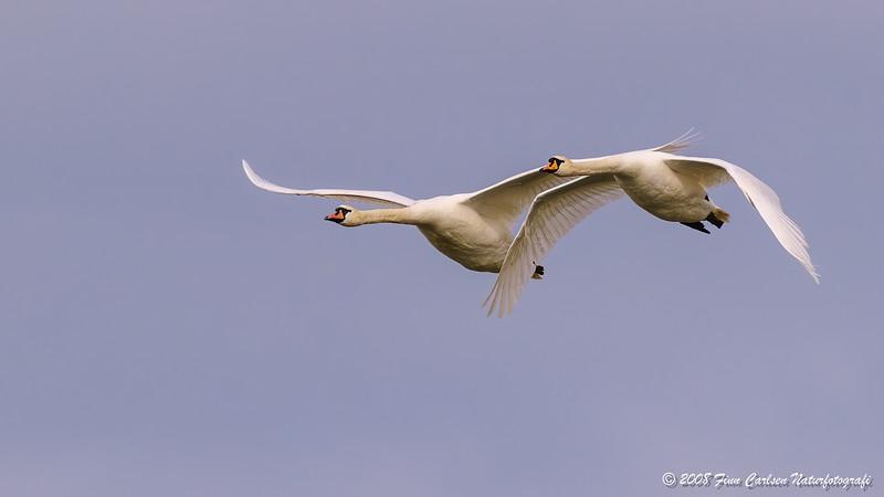 Knopsvaner (Cygnus olor - Mute Swan)