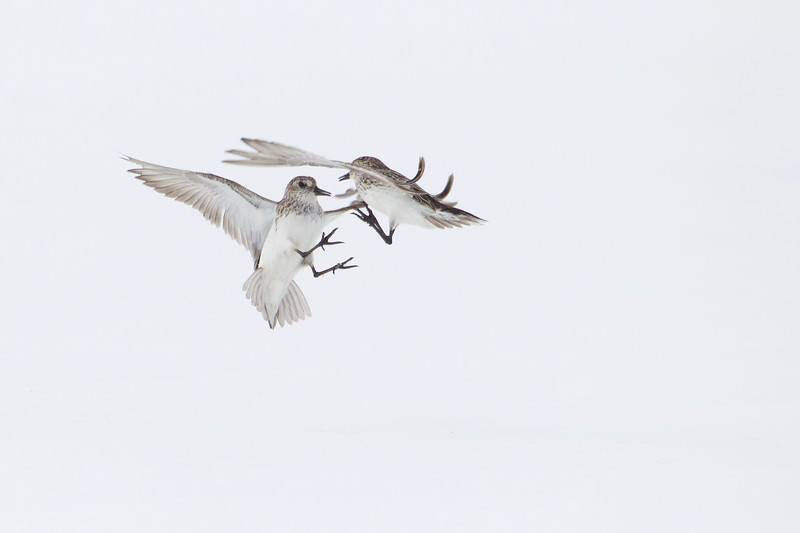 Semipalmated Sandpipers in aerial combat near Barrow, Alaska