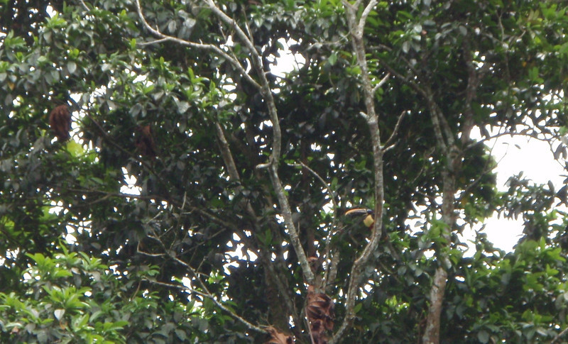 Black-Mandibled Toucan at RAL