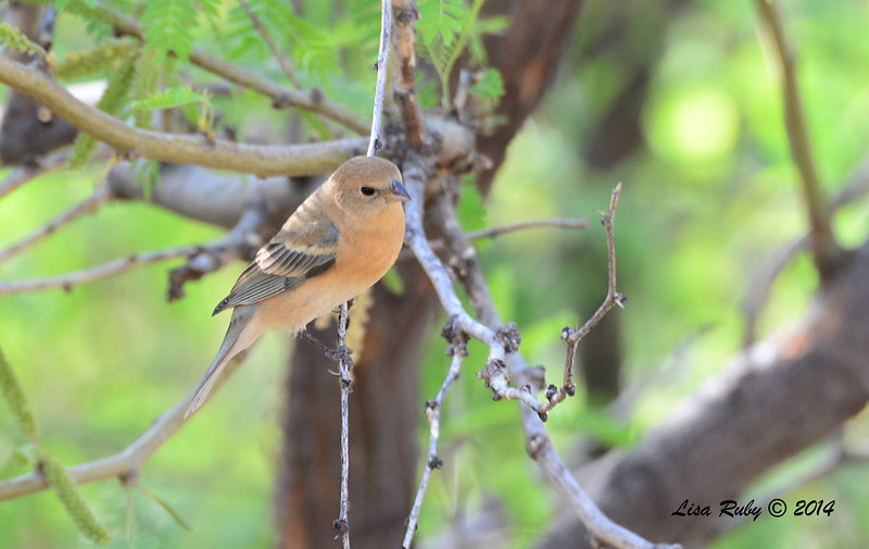 Female Lazuli Bunting - 4/20/2014 - Ash Canyon B&B, Hereford, Arizona