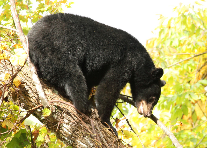 Black Bear Coming Down a Tree