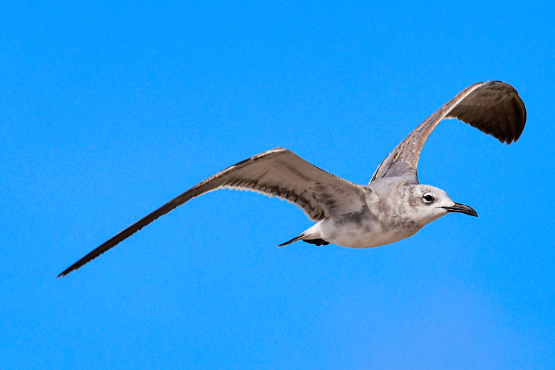 Laughing Gull- non adult