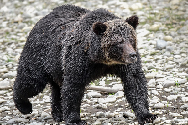 9-17-18 **Grizzly Bear Fishing