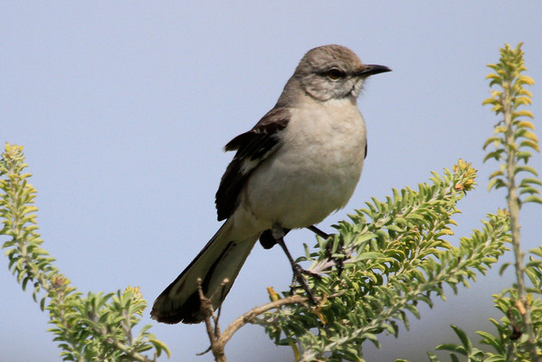 Upper Newport Bay April 2014 - Mockingbird