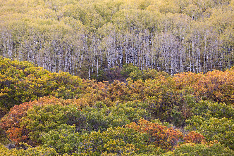 Oaks and Aspens