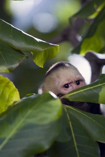 Capuchin - White Faced Monkeys