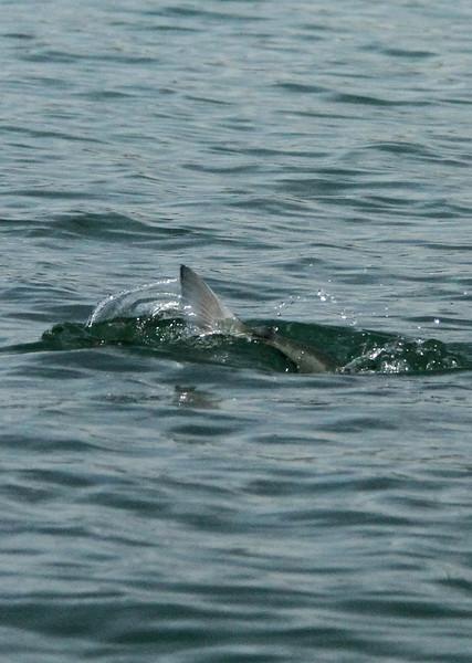 Katmai salmon.jpg