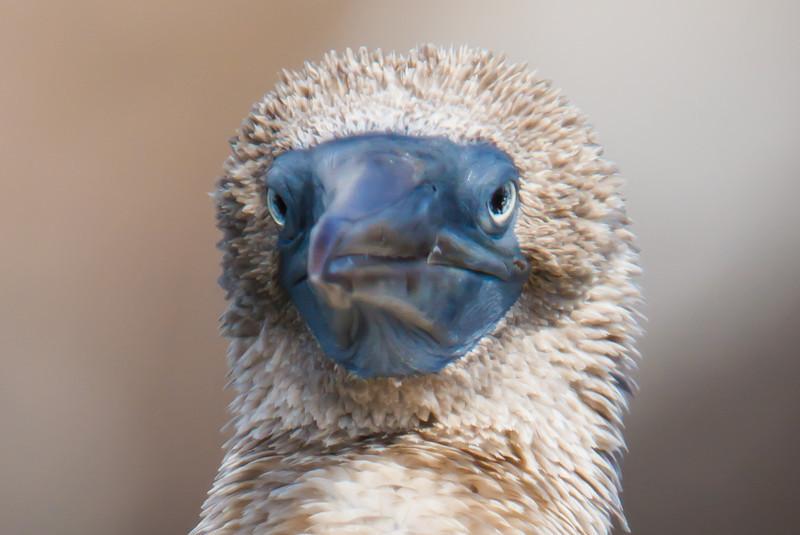 Blue-footed Booby adult at Devil's Crown, Floreana, Galapagos, Ecuador (11-22-2011) - 260.jpg